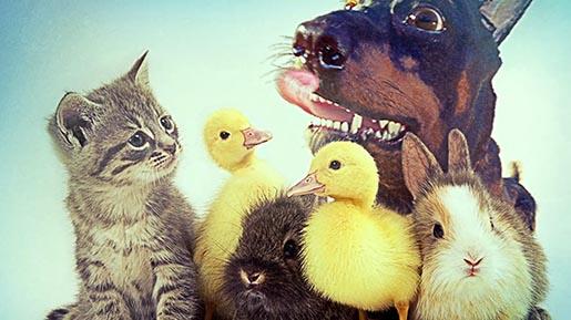 Audi Doberhuahua with cute pets